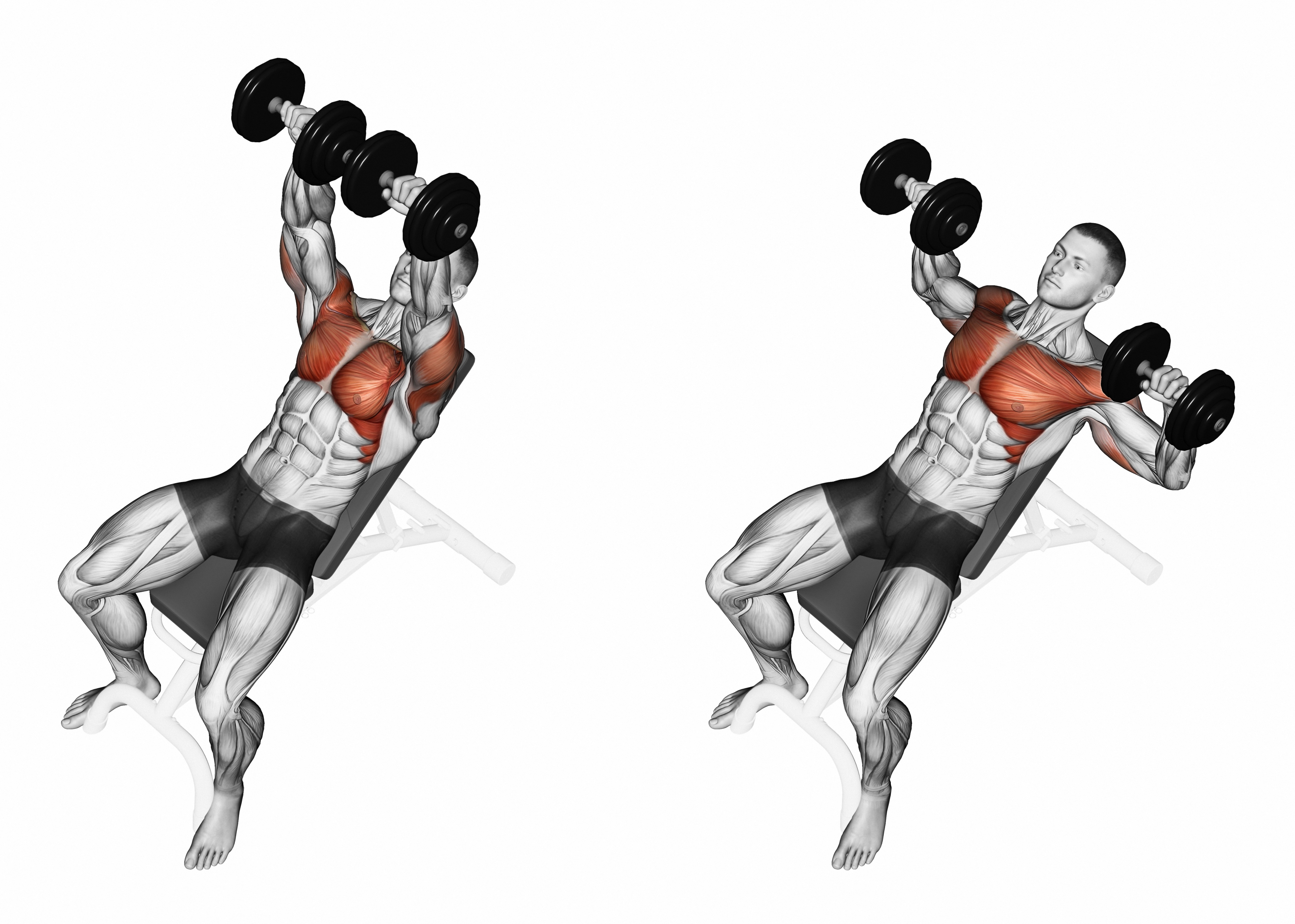 Dumbbell bench press while lying on an incline bench. Exercising for bodybuilding. Target muscles are marked in red. Initial and final steps. 3D illustration – Muscle Media Magazine