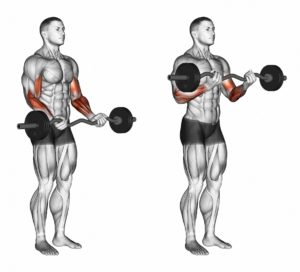 arm exercise barbell curl - Muscle Media