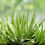aloe vera Benefits-of-Herbal-Aloe-Vera-Muscle-Media